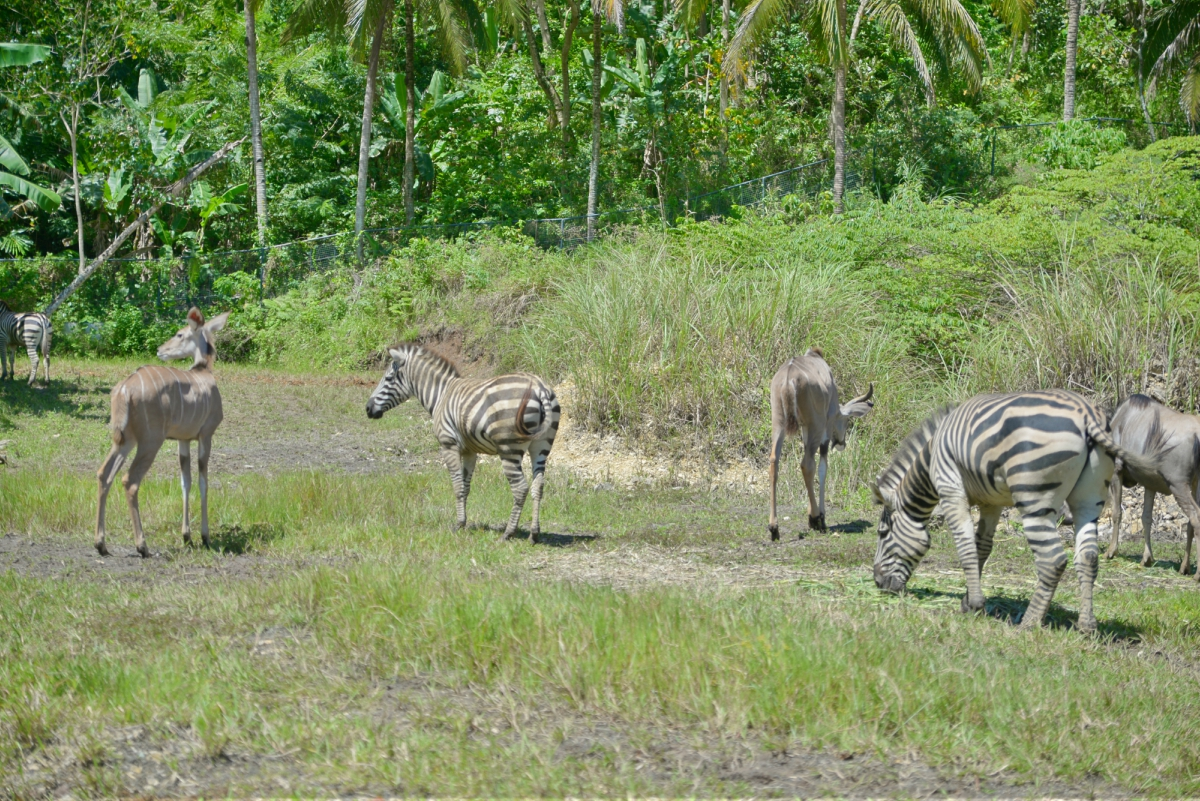Cebu Safari and Adventure Park - African Savannah - Zebras and Antelopes