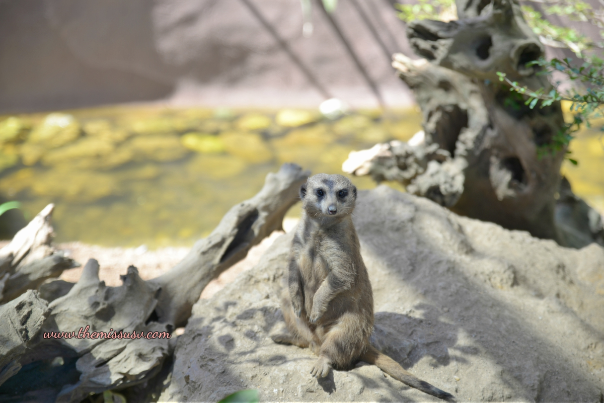Cebu Safari and Adventure Park - Cute Meerkat