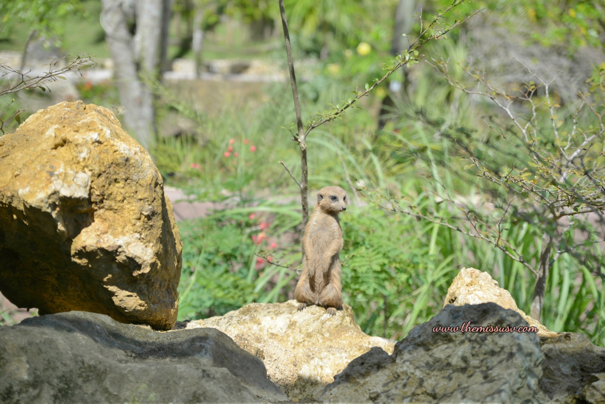 Cebu Safari and Adventure Park- Meerkat