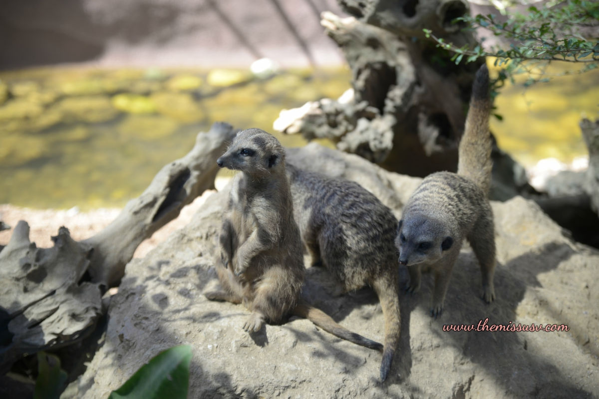 Cebu Safari and Adventure Park - Meerkats