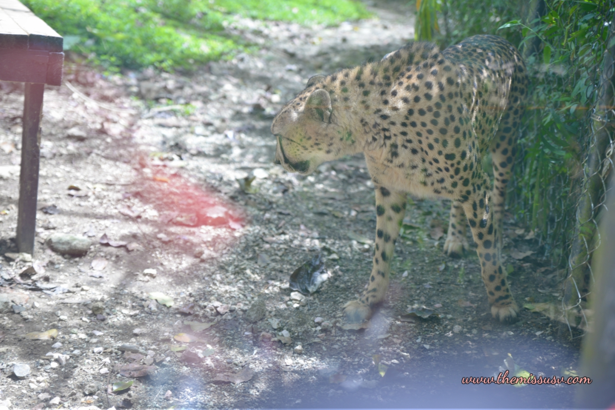 Cheetah - Cebu Safari and Adventure Park