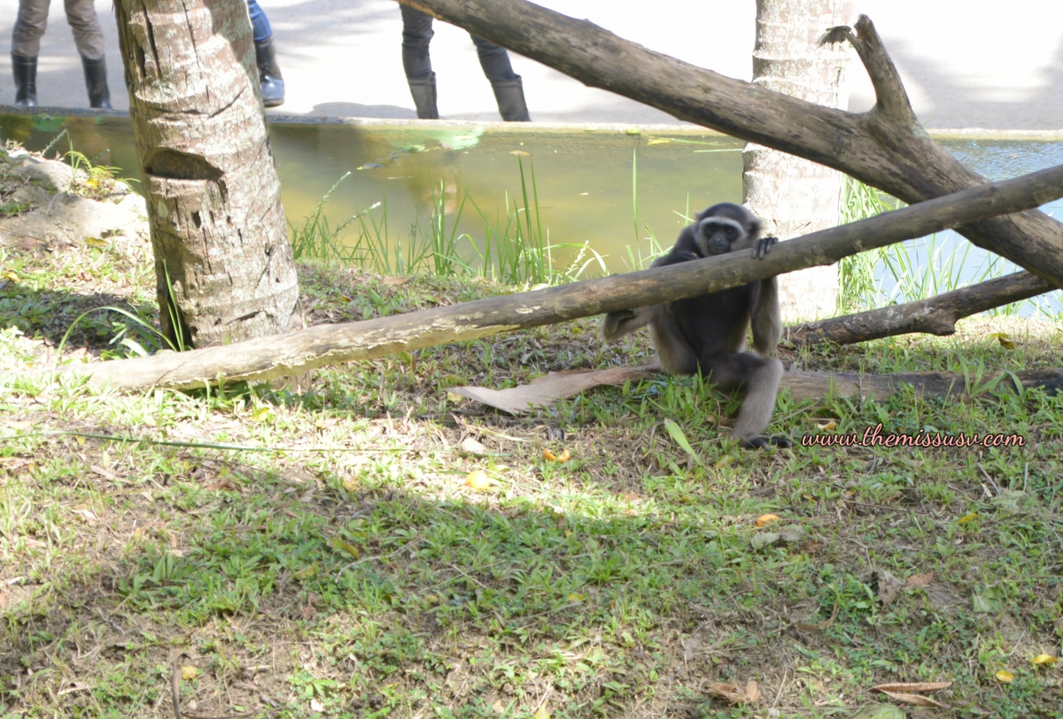 Gibbon - Cebu Safari and Adventure Park
