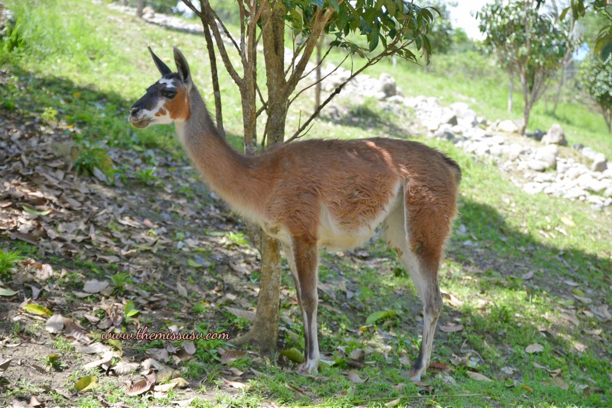 Lama- Cebu Safari and Adventure Park
